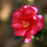 庭の花 山茶花
