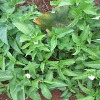 秋野菜が育ってきました