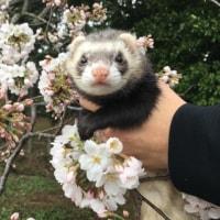 ふう子と花見に行った