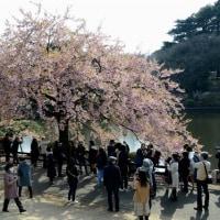 新宿御苑の桜・・1