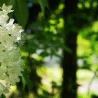 緑陰の白い花