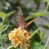 庭に来た蝶(10)シータテハ
