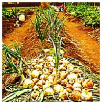 傾倒化 玉ネギ の 収穫 - 3