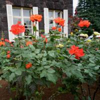 旧古河庭園 「秋のバラフェスティバル」