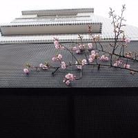 今朝の河津桜