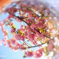 圧倒的桜。2017 今日、日本列島で一斉に咲きます。