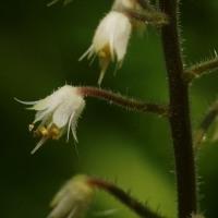 浅草山麓エコミュージアムでは ズダヤクシュ が花盛り