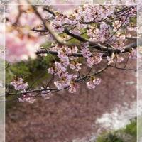 河津桜(豊田市)