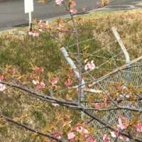 I found cherry leaves.
