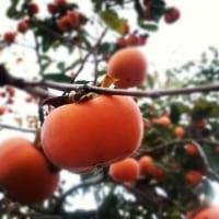 ☆庭の柿☆
