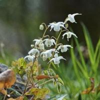 イカリソウ   季節の山野草
