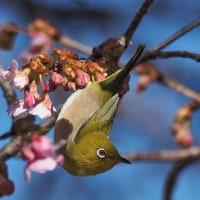 咲き始めの河津桜とメジロ