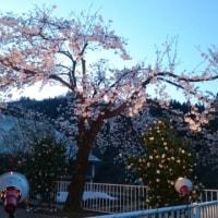 津南の桜も満開です