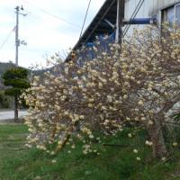 一関市東山町長坂のミツマタ(三又・三椏)2017年4月23日(日)