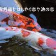 五月雨にはしやぐ恋や池の鯉