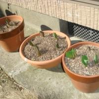 花粉症 ! チューリップの芽