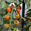 トマト色づく(7月11日更新)変形トマト