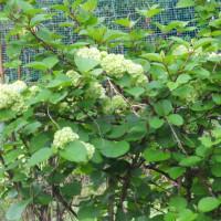 新緑の季節 柏葉あじさいは、今年は花を付けてくれるだろうか…