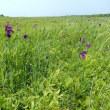 ノハナショウブが満開 ヨコスト湿原