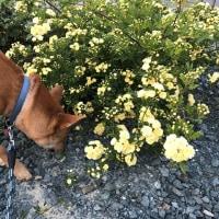 モッコウバラ。~小さなバラ いつまでもそこに咲いてておくれ~