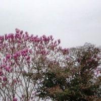 紫モクレンが茂る家