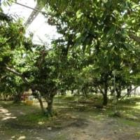 腎臓に優しい果実、桜桃(さくらんぼ)狩り