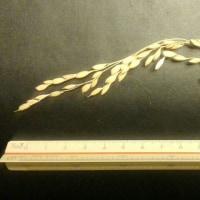 稲の二番ホキ