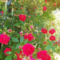 春薔薇色から。