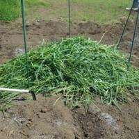 麦の刈り取りとサツマイモの畝作り