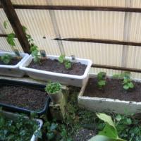ゴーヤときゅうりの苗を植えました
