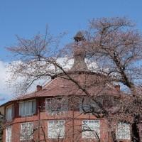 神代桜が満開です