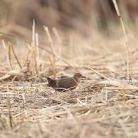 先日の鳥見・・・クイナ、ヒクイナ、ヒレンジャク