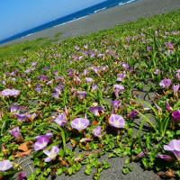 『皐月』 北浜海岸