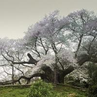 桜シリーズⅲ