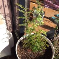 やっと植えた、シマトネリコ