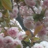 色薄めの八重桜