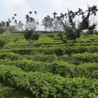 春茶(紅茶)の季節が始まりました。