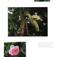 バナナの木とバラ