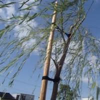剪定され、身軽になった柳。でも、木に結わえられて支えられています。小橋。