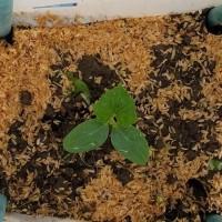 今日はきゅうりの苗を畑に植え付けです