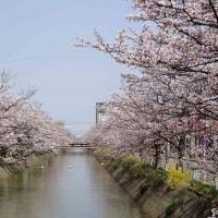 桜花見(1)~福島江