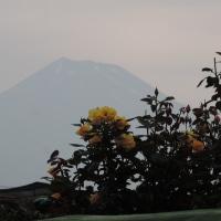 今朝の富士とコジュケイの親子