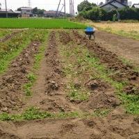 関根農場のジャガイモを収穫する。