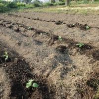 枝豆、とうもろこし定植