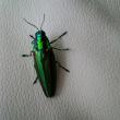 玉虫、今年も見つけました。