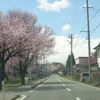 国道397号の桜並木