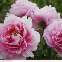 ボタン 〈牡丹 ピンク色の花〉