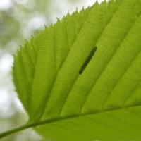新緑の葉を観察