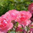「写真&俳句!」 花びらの掃き寄せてありバラの庭
