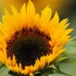 万博公園のひまわり 『8のつく日はwebにお花を』(39)